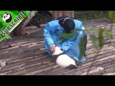【その他】自分も抱っこしてもらえると思ったパンダの赤ちゃんがやたらとカワイイ!