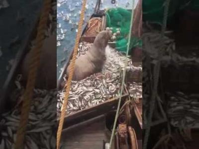 【スゴイ!】ロシアの漁師が網で引き上げたのは・・・・・オットセイ?トド?