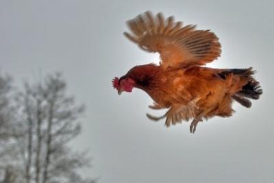 【衝撃!】ニワトリの大群が空を飛んでくる!