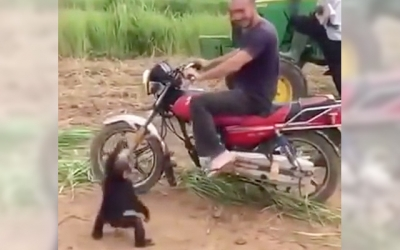 【その他】バイクに乗りたい!とダダをこねるチンパンジーが可愛い!