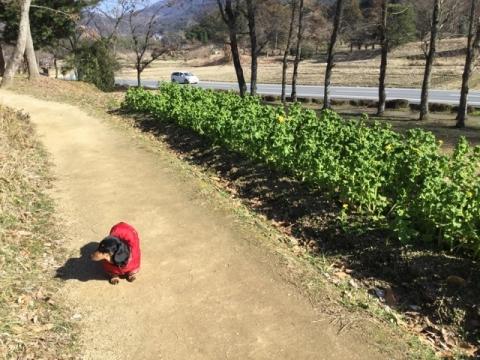 菜々と菜の花の散歩道