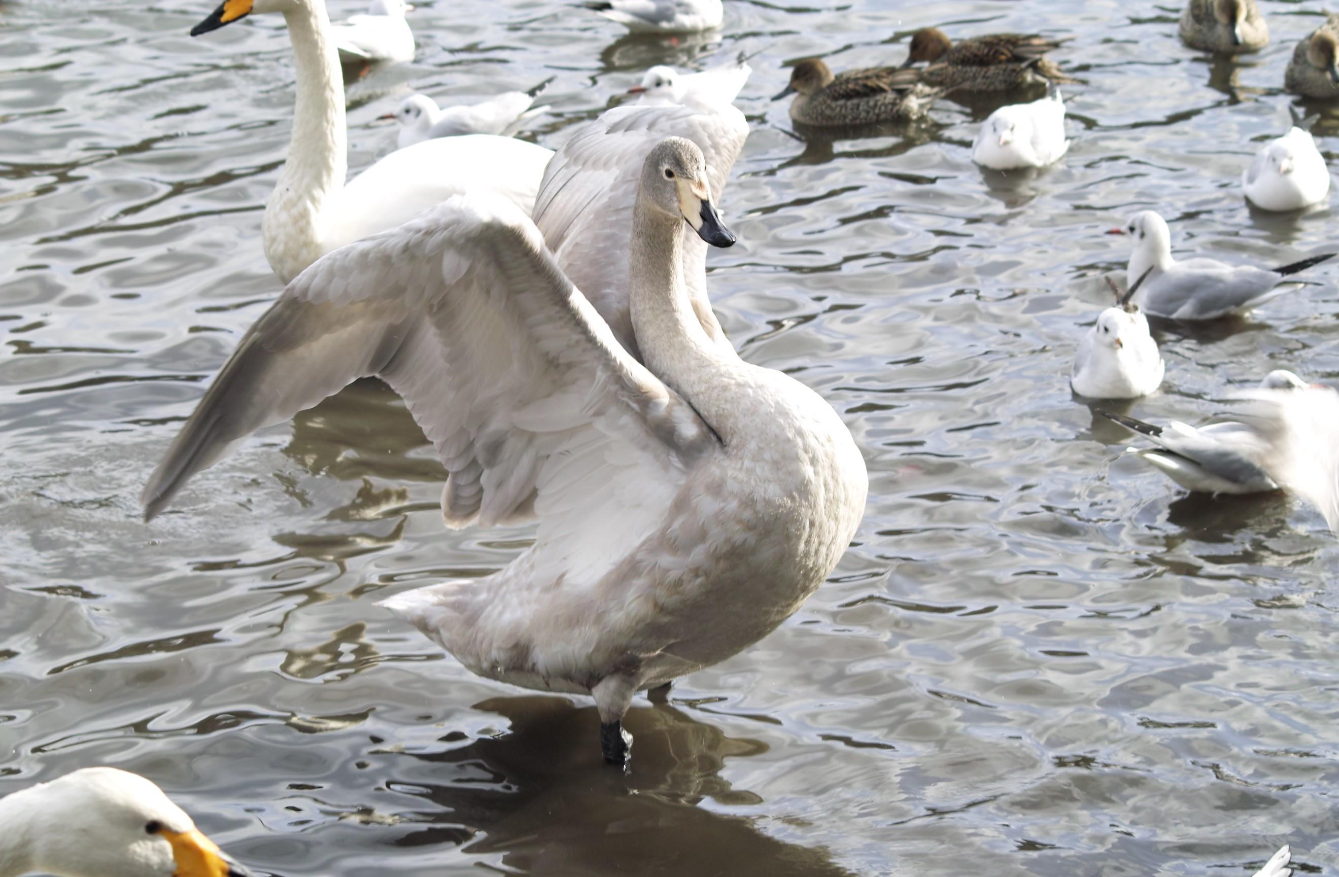 白鳥はばたき