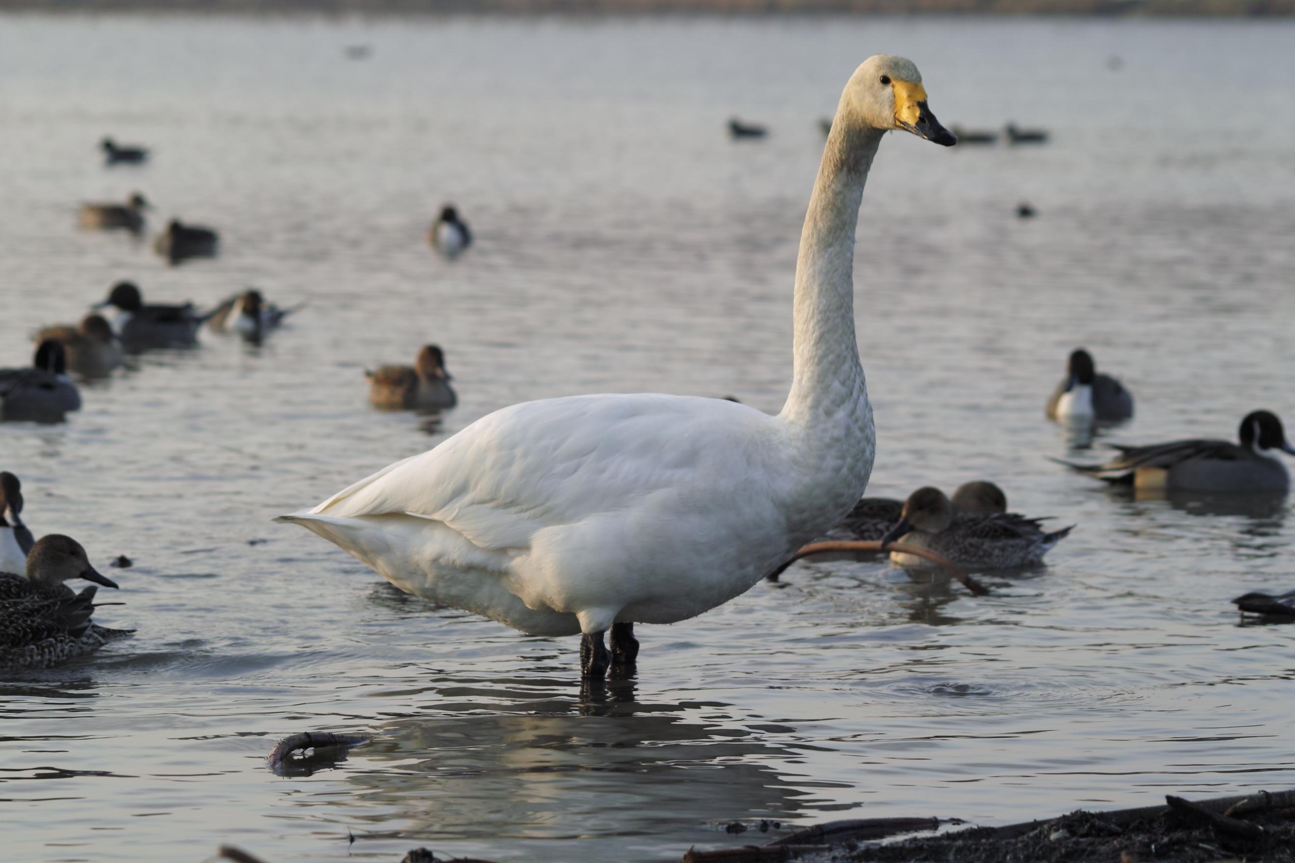 ひとり白鳥