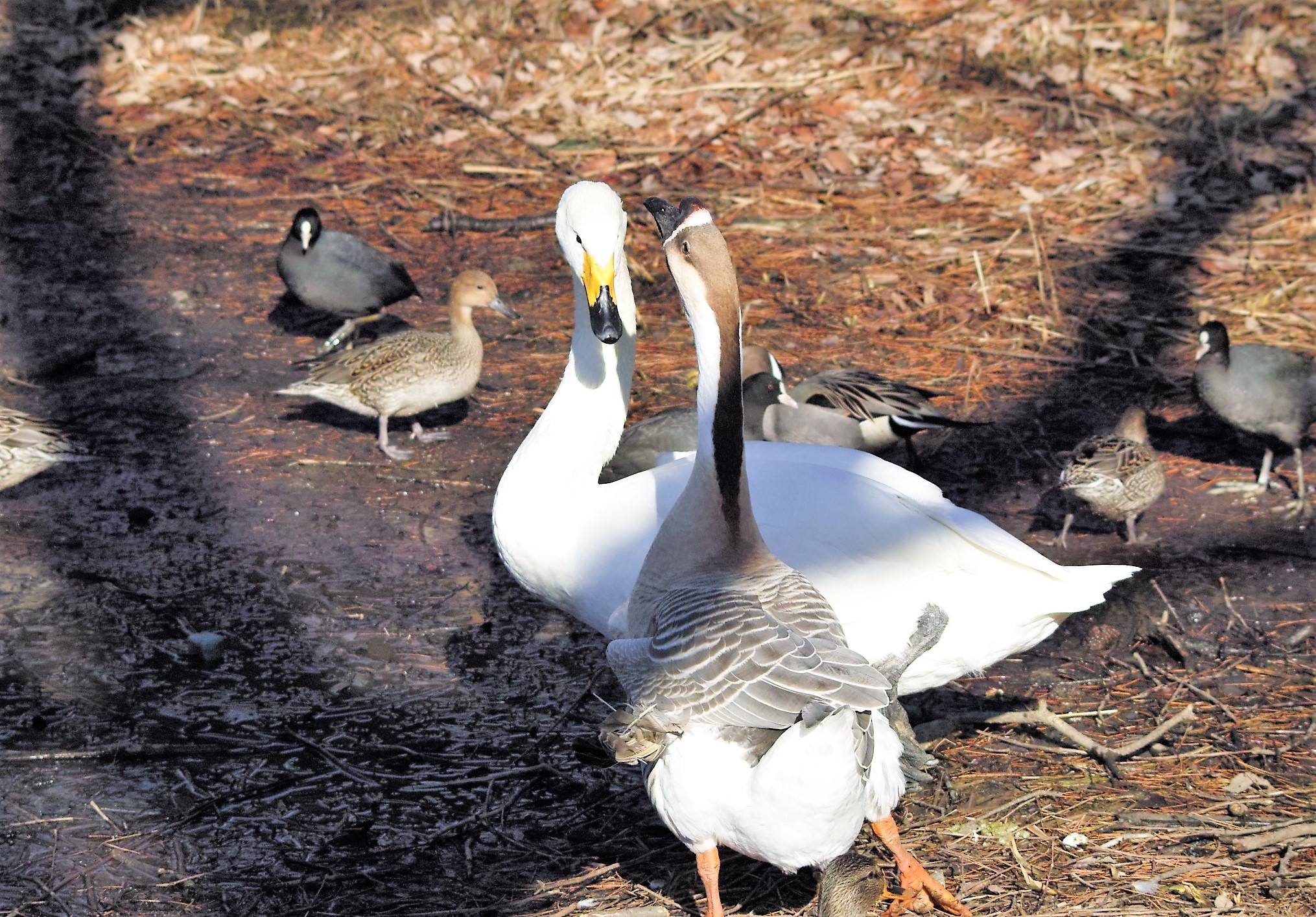 白鳥と志那がちょう