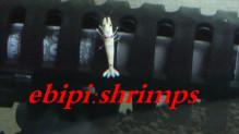 $ebipishrimpsのブログ