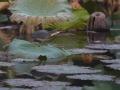 タカサゴクロサギ6