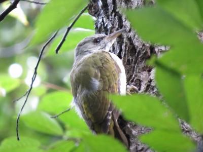 ヤマゲラ幼鳥