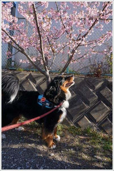 2017-2河津桜と大和