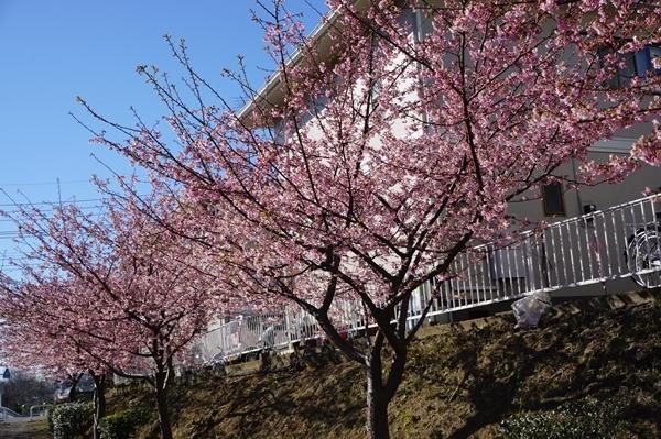 2017-2遊歩道の河津桜