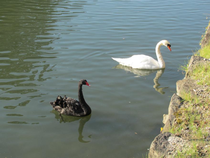 白鳥と黒鳥
