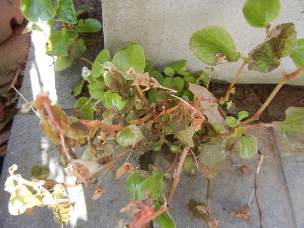 begonia170107.jpg