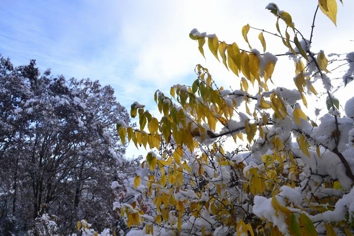 蝋梅の葉に雪31