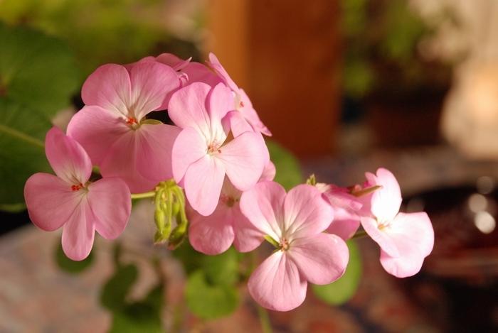 ピンクのゼラニューム16