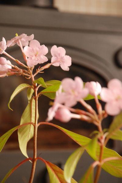匂い桜54