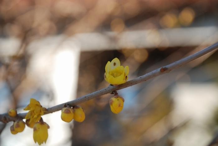ロウバイの花がちらほらと19
