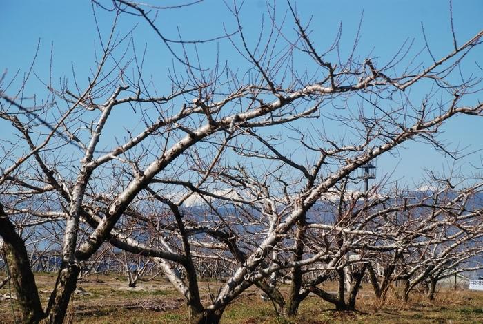桃の畑と南アルプス5