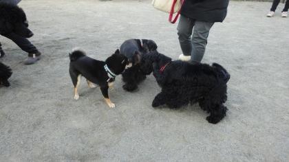 黒犬(ログ、豆柴、エリック&ピカソ)