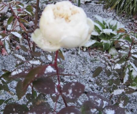 薔薇と雪2
