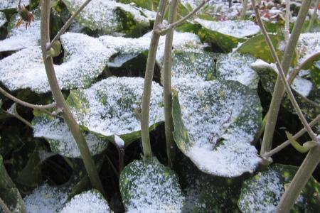 ツワブキの葉に雪