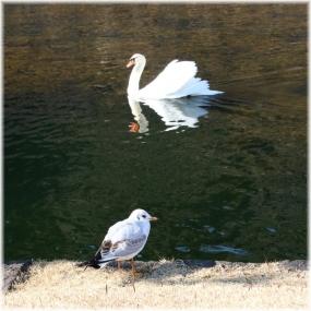 170107E 061白鳥とカモメ@皇居前SQ