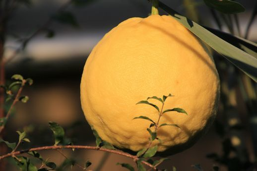 IMG_0025レモン