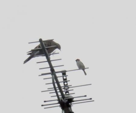 雀と鳩 013