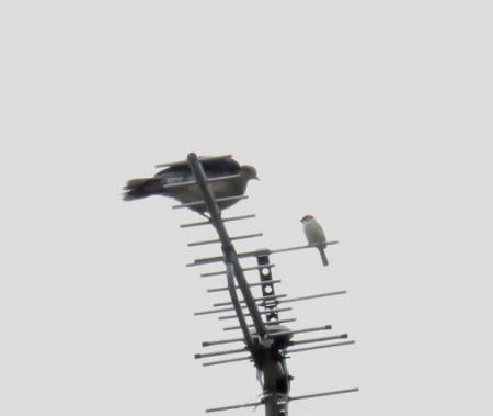 雀と鳩 012