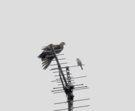 雀と鳩 011