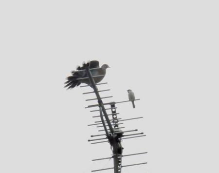 雀と鳩 010