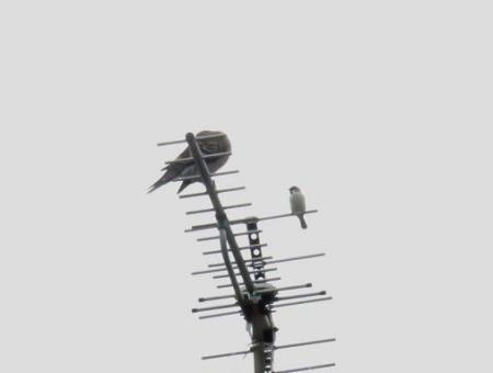 雀と鳩 009