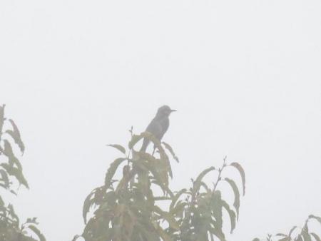 霧 公園のアオサギ 263