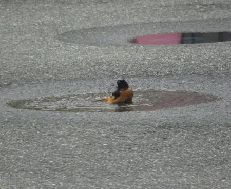 ジョウビタキ水浴 045