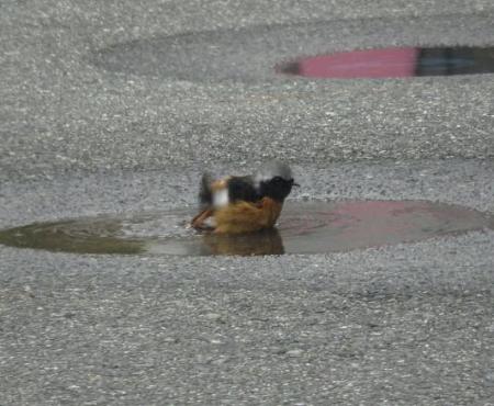 ジョウビタキ水浴 044