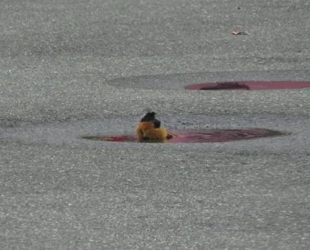 ジョウビタキ水浴 028