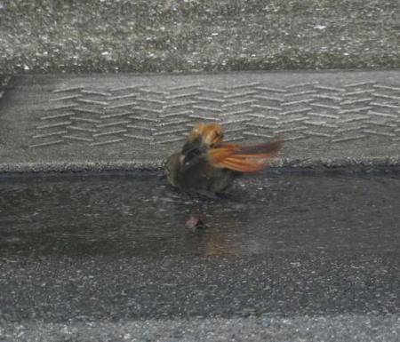 ジョウビタキ水浴 012