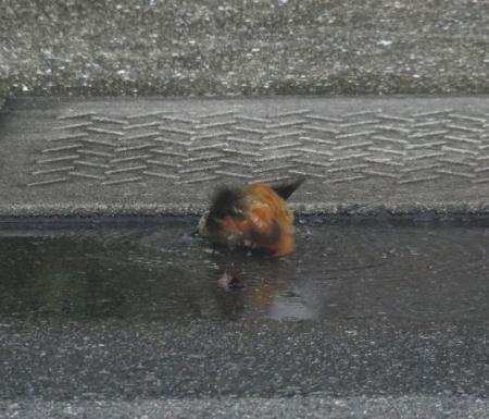 ジョウビタキ水浴 010