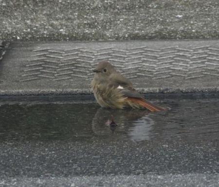 ジョウビタキ水浴 008