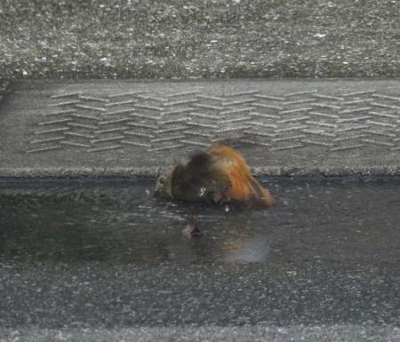 ジョウビタキ水浴 004