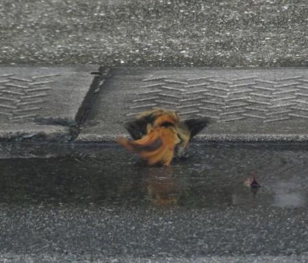 ジョウビタキ水浴 027
