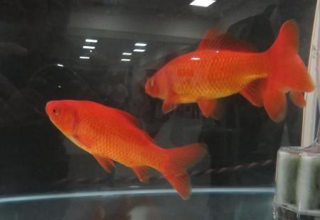 金魚 008