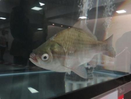 金魚 004