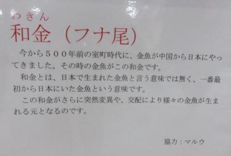 金魚 009