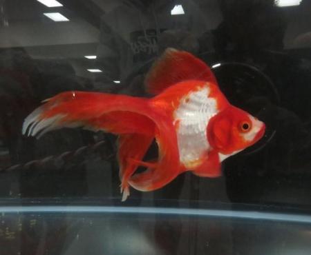金魚 012