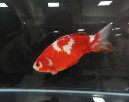 金魚 010