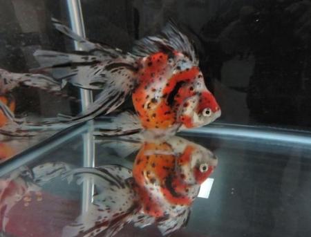 金魚 018