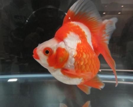 金魚 017