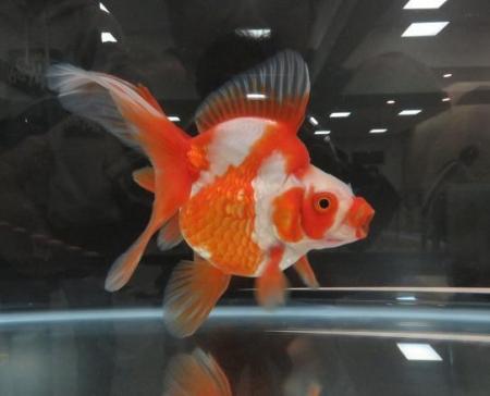 金魚 015