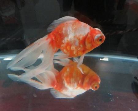 金魚 025