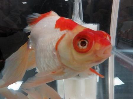 金魚 023