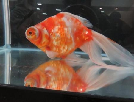 金魚 021